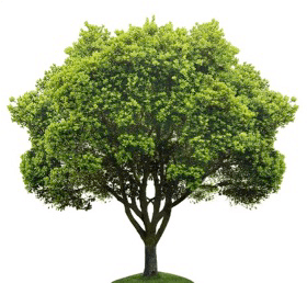 Green Tree with a white background